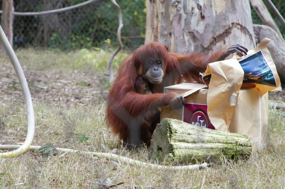 The primate's prediction is an annual event, though not one with the best track record. Siabu, pictured here, picked a Colts blanket for the win in 2010 when they lost to the Saints. Alex, another orangutan, correctly vouched for the New York Giants in 2012 but incorrectly chose the Steelers for a 2011 win.