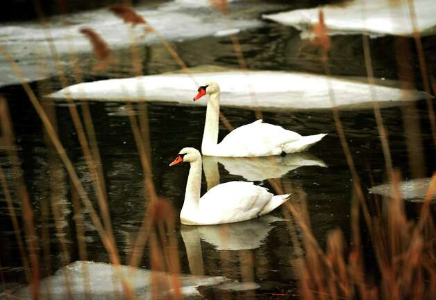 A pair of swans paddle through the ice floes on Milford Harbor on Tuesday, January 29, 2013. Photo: Brian A. Pounds
