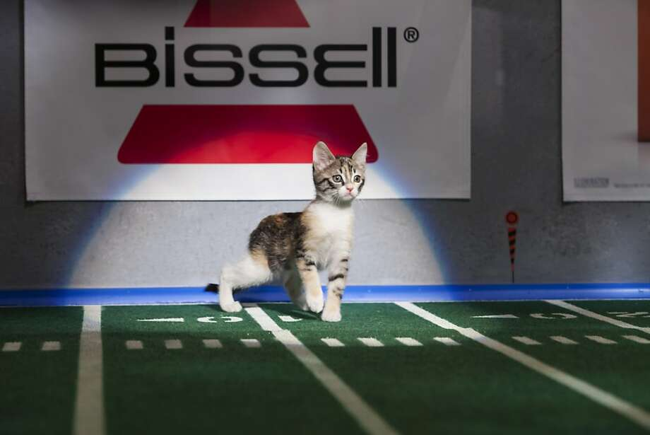 """This undated publicity photo provided by Animal Planet shows the Kitty half time show during """"Puppy Bowl IX,"""" in New York. The """"Puppy Bowl,"""" an annual two-hour TV special that mimics a football game with canine players, made its debut eight years ago on The Animal Planet. The show provides national exposure to the shelters across the country that provide the puppy athletes and the kittens that star in the halftime show, and introduces viewers to the different breeds and animals that need homes, animal workers say. (AP Photo/Animal Planet, Keith Barraclough) Photo: Keith Barraclough, Associated Press"""