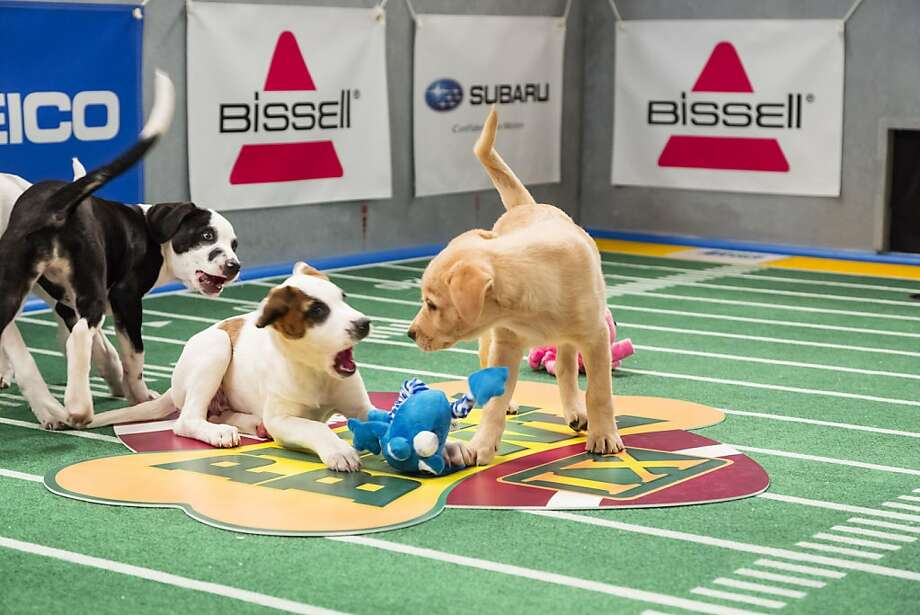 "This undated publicity photo provided by Animal Planet shows dogs playing on the field during ""Puppy Bowl IX,"" in New York. The ""Puppy Bowl,"" an annual two-hour TV special that mimics a football game with canine players, made its debut eight years ago on The Animal Planet. Dogs score touchdowns on a 10-by-19-foot gridiron carpet when they cross the goal line with a toy. (AP Photo/Animal Planet, Keith Barraclough) Photo: Keith Barraclough, Associated Press"