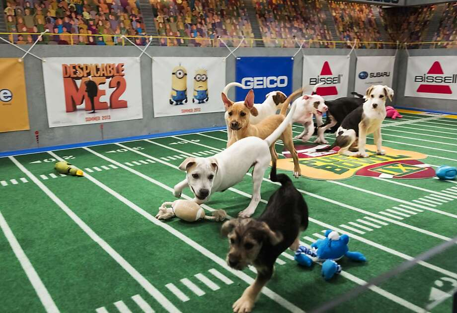 "Excitement is unleashed at ""Puppy Bowl""; crossing the goal line with a toy fetches touchdown points. Photo: Keith Barraclough, Associated Press"