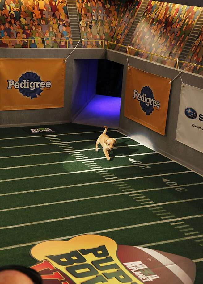 "This undated publicity photo provided by Animal Planet shows a dog, Fumble, during the kitty half-time show for ""Puppy Bowl VIII,"" in New York. The ""Puppy Bowl,"" an annual two-hour TV special that mimics a football game with canine players, made its debut eight years ago on The Animal Planet. Fumble, the spcaLA's entry in ""Puppy Bowl VIII,"" earned the game's Most Valuable Pup crown. (AP Photo/Animal Planet, Kimberly Holcombe) Photo: Kimberly Holcombe, Associated Press"