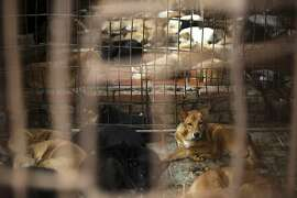 Dogs are kept in a cage of a wholesale supplier of live dogs, one of the biggest in town, in Hanoi, Vietnam on Monday, Oct. 3,  2011.  Dog meat is a delicacy in Vietnam that's often on the menu at parties, especially in the north. Restaurants specializing in barbecue dog are especially popular at the end of each lunar month when men dine on canine in hopes of purging bad luck. (AP Photo/Na Son Nguyen)
