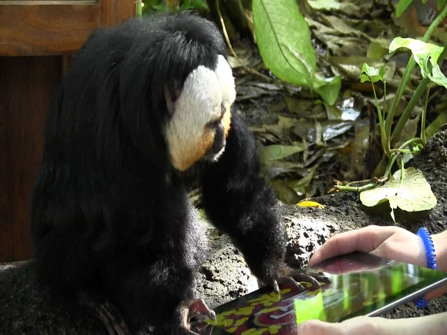 This saki monkey picks the 49ers on an iPad at Moody Gardens. (PRNewsFoto/Moody Gardens)