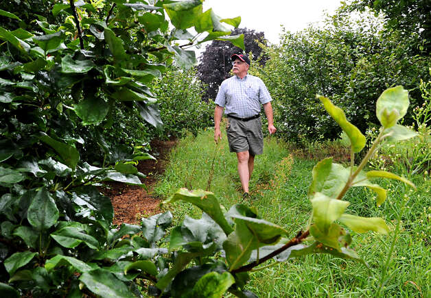 Goold Orchards owner Ed Miller walks through rows of fruitless apple trees on Friday, Aug. 10, 2012 in Castleton-On-Hudson, N.Y. The orchard is below half their usual crop this year. (Lori Van Buren / Times Union) Photo: Lori Van Buren / 00018814A