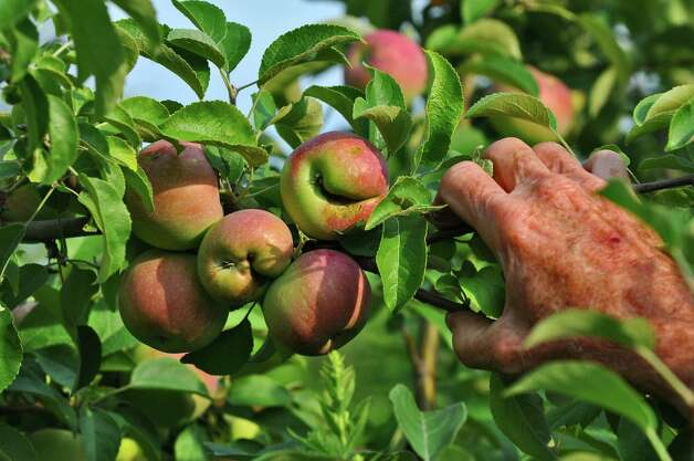 Larry DeVoe looks at Jona Mac apples damaged by  frost and hail at his DeVoe's Rainbow Orchards on Monday  July 23, 2012 in Halfmoon, NY.    (Philip Kamrass / Times Union) Photo: Philip Kamrass / 00018572A