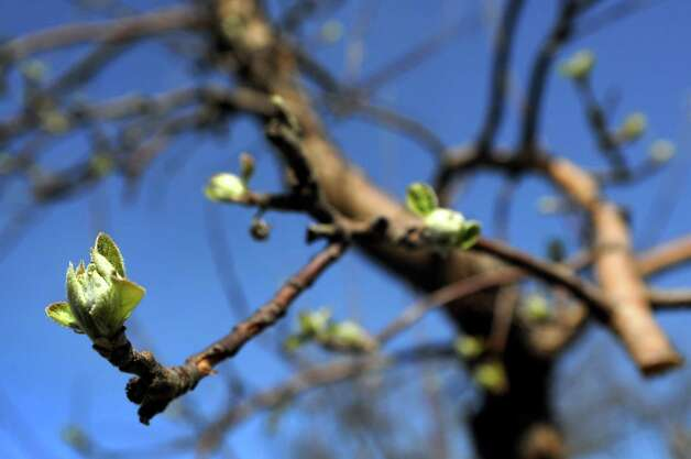 Apple trees begin to bud on Tuesday, March 27, 2012, at Indian Ladder Farms in Altamont, N.Y. (Cindy Schultz / Times Union) Photo: Cindy Schultz / 00016967A