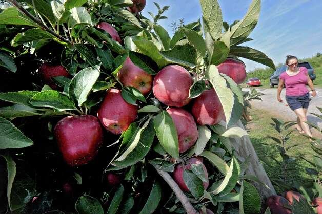 Ripe apples at Bowman Orchards on Friday, Sept. 14, 2012 in Rexford, N.Y. (Lori Van Buren / Times Union) Photo: Lori Van Buren / 00019260A