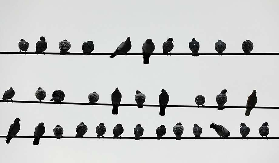 Pigeons roost on utility lines on a mild winter day on Tuesday, Jan. 29, 2013, in Rensselaer, N.Y. Photo: Mike Groll, Associated Press