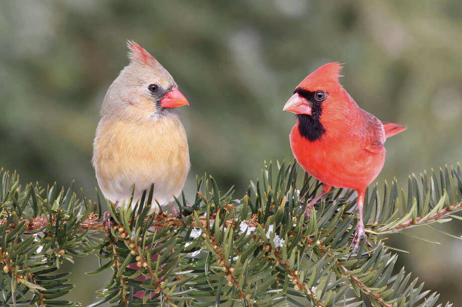 National Wildlife Week is March 18 to 24 this year. The theme is ìBranching Out for Wildlife,î with a focus on how wildlife depend upon trees for survival. Above, a pair of Northern Cardinals on a tree branch. Photo courtesy of iStockPhoto Photo: Contributed Photo