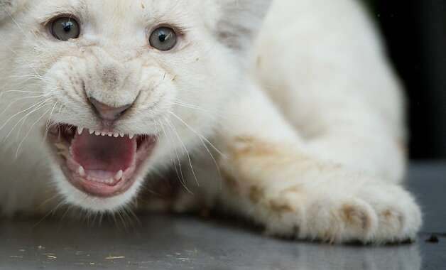 Before one can roar, one must hiss: This baby white lion looks like he's got it down pat. Photo: Julian Stratenschulte, AFP/Getty Images