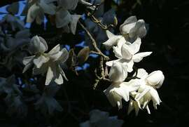 San Francisco Botanical Garden celebrates its magnolias with events and self-guided tours through March in Golden Gate Park.