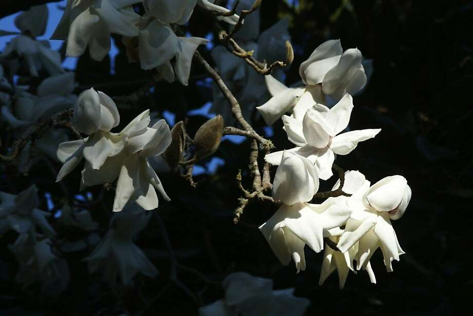 S.F. Botanical Garden celebrates magnolias with events and tours through mid-March in Golden Gate Park. Photo: Joanne Taylor
