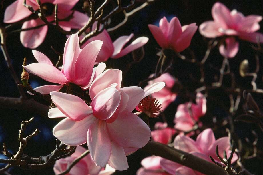Magnolias like campbellii are just blooming. Photo: James Gaither