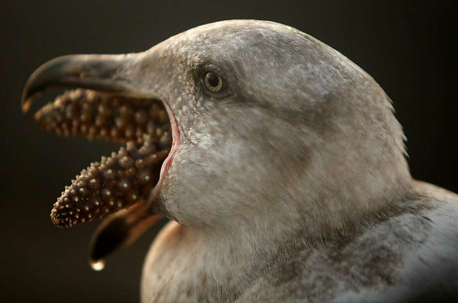 Star light, star bright, the first star I eat tonight:A seagull slowly gulps a starfish in Monterey, Calif. Photo: David Royal, Associated Press