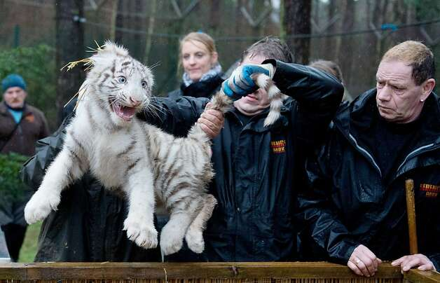 Keepers hold a white tiger cub during an examination on January 30, 2013 at the Serengeti wildlife park in Hodenhagen, central Germany. The tiger cub was born at the park in October 2012. Photo: Julian Stratenschulte, AFP/Getty Images