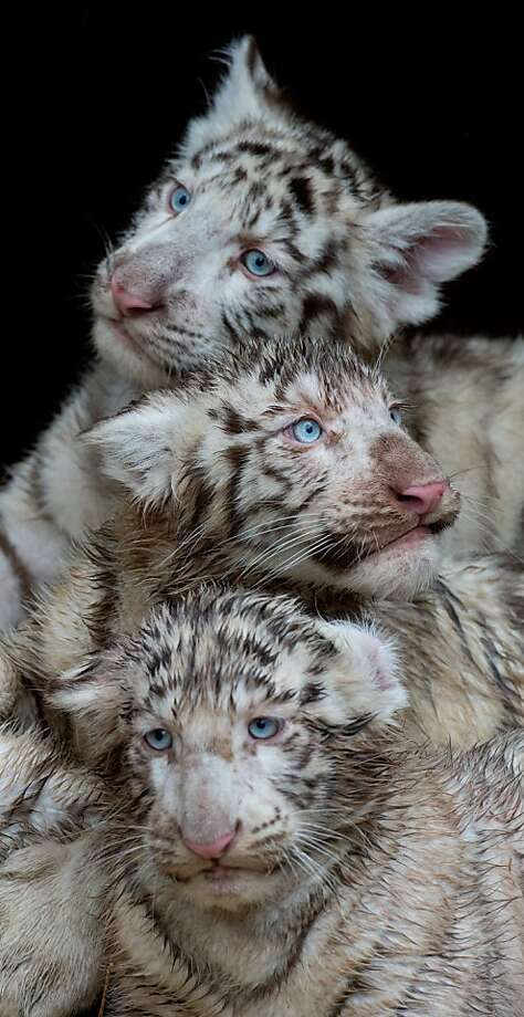 Totem pole cats:The baby white tigers at Serengeti wildlife park are stackable for easy storage. Photo: Julian Stratenschulte, AFP/Getty Images