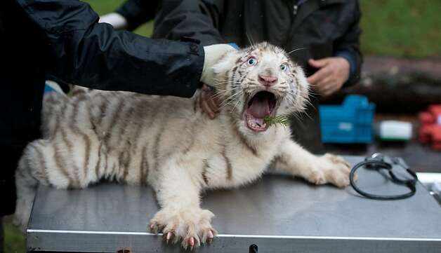 You're going to do WHAT with that thermometer?! Like most cats, white tiger cubs are not fond of going to the doctor's for a checkup. Photo: Julian Stratenschulte, AFP/Getty Images