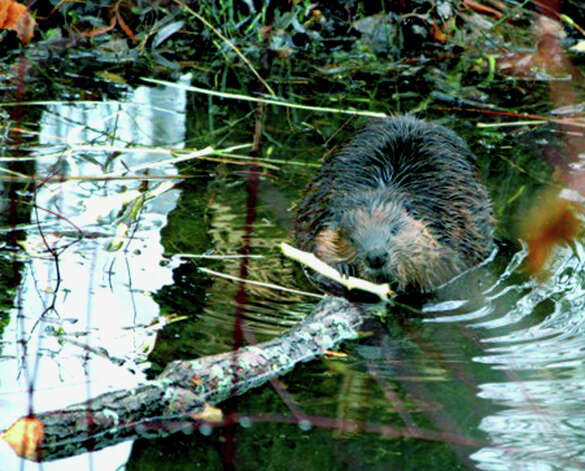 A beaver goes about its day's chores in a stream winding its way through the Willow Springs condominium complex in New Milford. January 2013  Courtesy of Lenny Hankins Photo: Contributed Photo