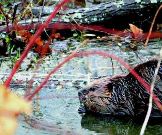 A beaver goes about its day's chores in a stream winding its way through the Willow Springs condominium complex in New Milford. January 2013 Photo: Contributed Photo