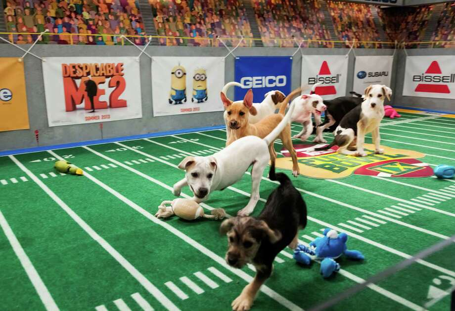 "Canine players take the field for Animal Planet's ""Puppy Bowl IX,"" a two-hour TV special that mimics a football game. It airs Sunday. Photo: Keith Barraclough, HOEP / Animal Planet"