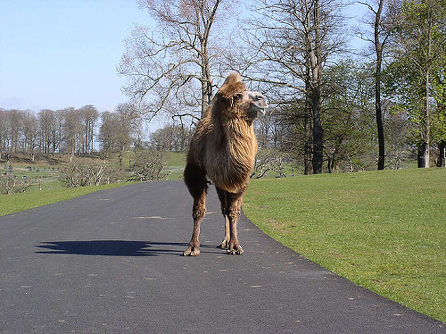 Camels aren't cars: It's illegal to ride a camel on a freeway in Nevada. (Photo: DavidLkel, Flickr)