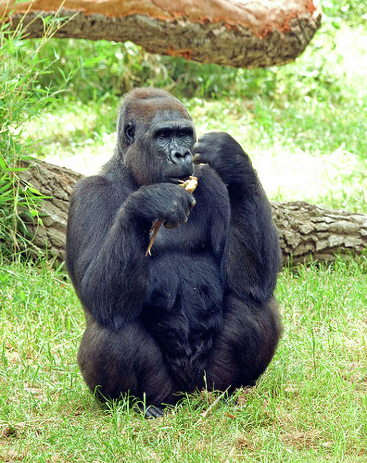 Gorillas aren't passengers: It might sound odd, but it's illegal to drive with a gorilla in your back seat in Massachusetts.(Photo: e_monk, Flickr)Source: TrueCar.com Photo: Flickr