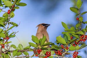 A flock of cedar waxwings may quickly strip a berry bush of its fruit. They've been in the area since October.