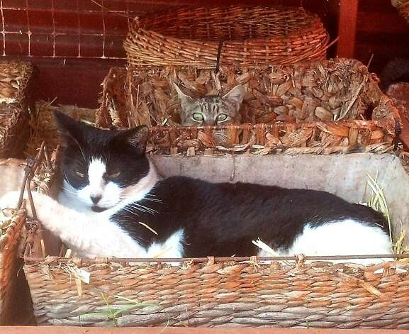 Lined baskets are just some of the many places where cats at the Lana'i Animal Rescue Center can curl up. Photo: Jeanne Cooper, Special To SFGate