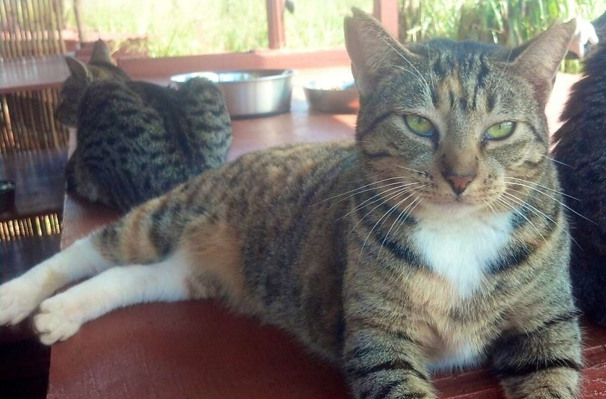 The approximately 370 cats in residence at the  Lana'i Animal Rescue Center tend to coexist peacefully, like this tabby trio.