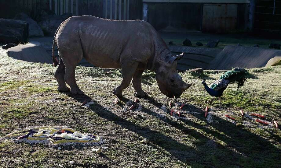 Boone, a black rhino named after San Francisco 49ers tackle Alex Boone, and a peacock feed on vegetables spelling out Go Niners near the Baltimore Ravens logo, lower left, at the San Francisco Zoo in San Francisco, Thursday, Jan. 31, 2013.  The zoo fed Boone the special breakfast in support of Sunday's Super Bowl between the San Francisco 49ers and Baltimore Ravens. Photo: Eric Risberg, Associated Press / AP