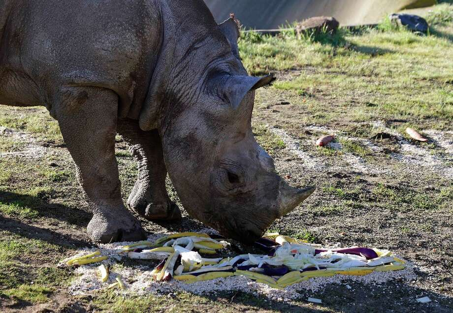 Boone, a black rhino named after San Francisco 49ers tackle Alex Boone, feeds on the Baltimore Ravens logo made of vegetables at the San Francisco Zoo in San Francisco, Thursday, Jan. 31, 2013.  The zoo fed Boone the special breakfast in support of Sunday's Super Bowl between the San Francisco 49ers and Baltimore Ravens. Photo: Eric Risberg, Associated Press / AP