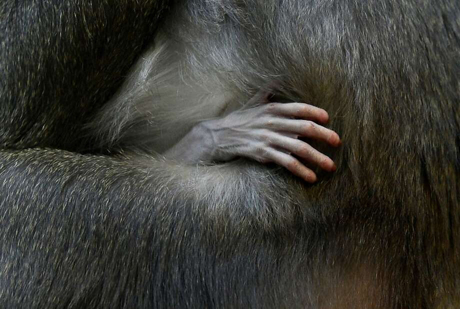 Drill baby, Drill:The hand of a 1-week-old Drill infant rests in the crook of his mother, Kaduna's arm in the primate enclosure at the Munich Hellabrunn Zoo in Germany. Photo: Christof Stache, AFP/Getty Images
