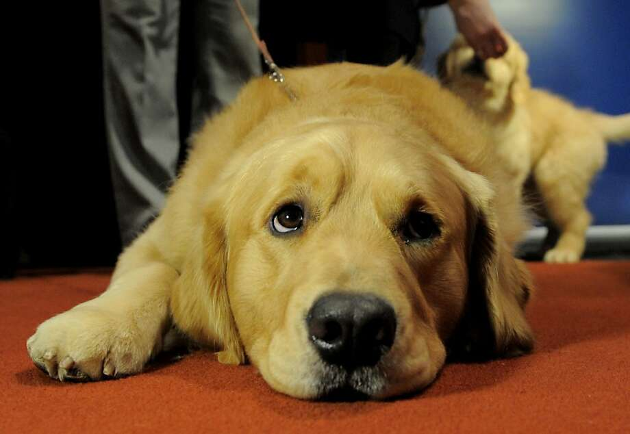 Bronze for the golden: Major, a golden retriever, was obviously hoping to do better than third most popular dog. (American Kennel Club press conference in New York.) Photo: Stan Honda, AFP/Getty Images