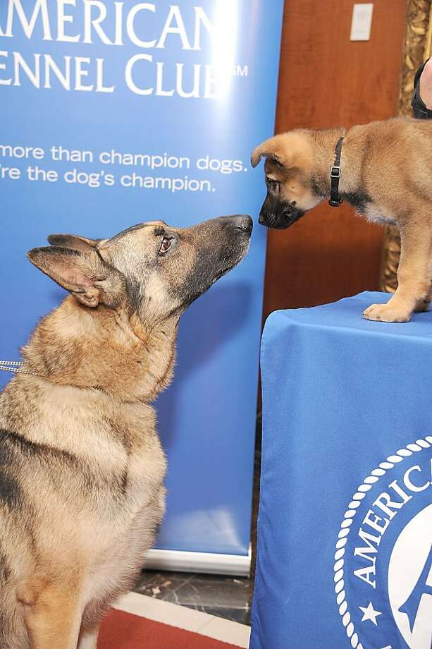 We're No. 2 again:Commander and young Tsunami get acquainted during the American Kennel Club's annual press conference in New York announcing the most popular canine breeds. The German shepherd was again runner-up to the perennial champion, the Labrador retriever, which has been the top dog for 22 straight years. Photo: Gary Gershoff, Getty Images For The American Ke