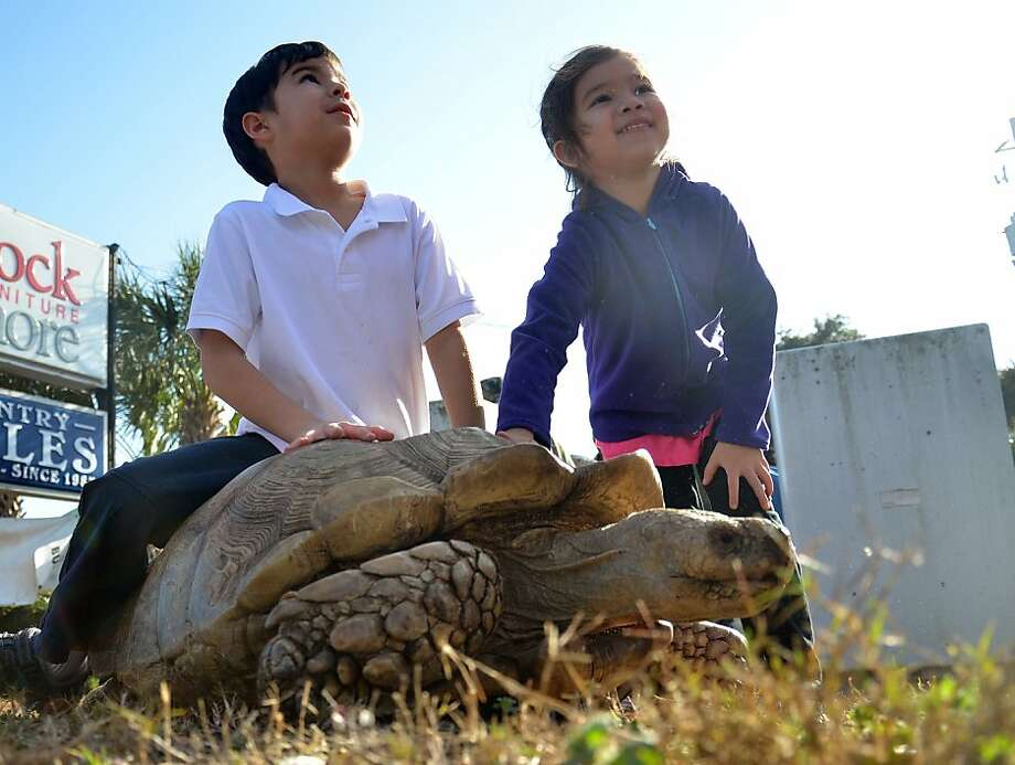 Let me know if I'm going too fast for you, son: Nathan Tran, 6, rides Gerry, a 35-year-old African tortoise, as sister Halle follows on foot in Beaufort, S.C. The turtle's owner had stopped on the Sea Island Parkway to let Gerry stretch his legs. Photo: Sarah Welliver, Associated Press