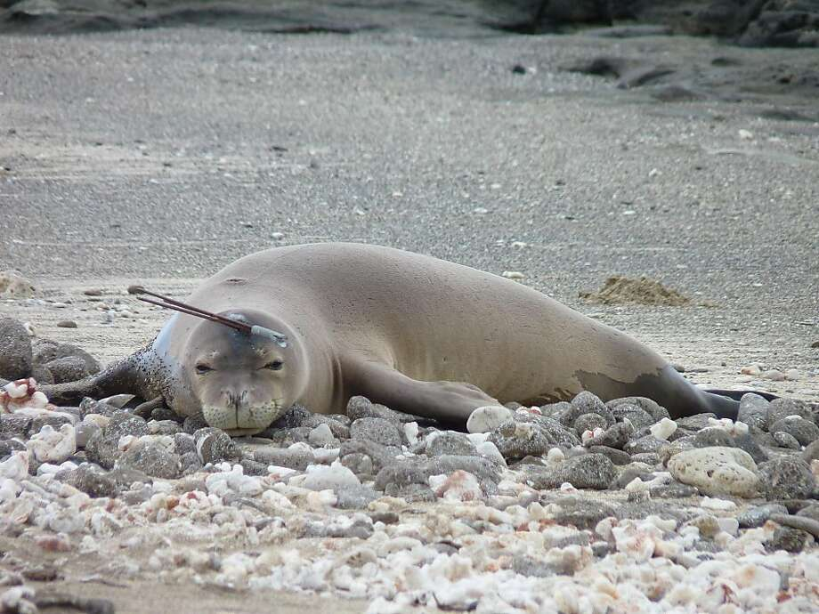 Speared in the head, a Hawaiian monk seal lies on a beach on Rabbit Island off Waimanalo, Hawaii. Fortunately, the injury was very superficial, and a marine mammal rescue team was able to remove the shaft. Authorities are investigating whether someone intentionally or accidentally impaled the animal. Photo: Mark Sullivan, Associated Press