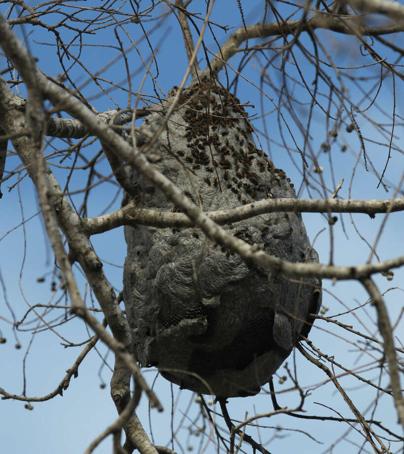 This is the giant wasp hive in a tree on the 1900 block of Ann Arbor. The city won't remove it because it is on a private landowner's property. Photo: JOHN DAVENPORT, San Antonio Express-News / © San Antonio Express-News
