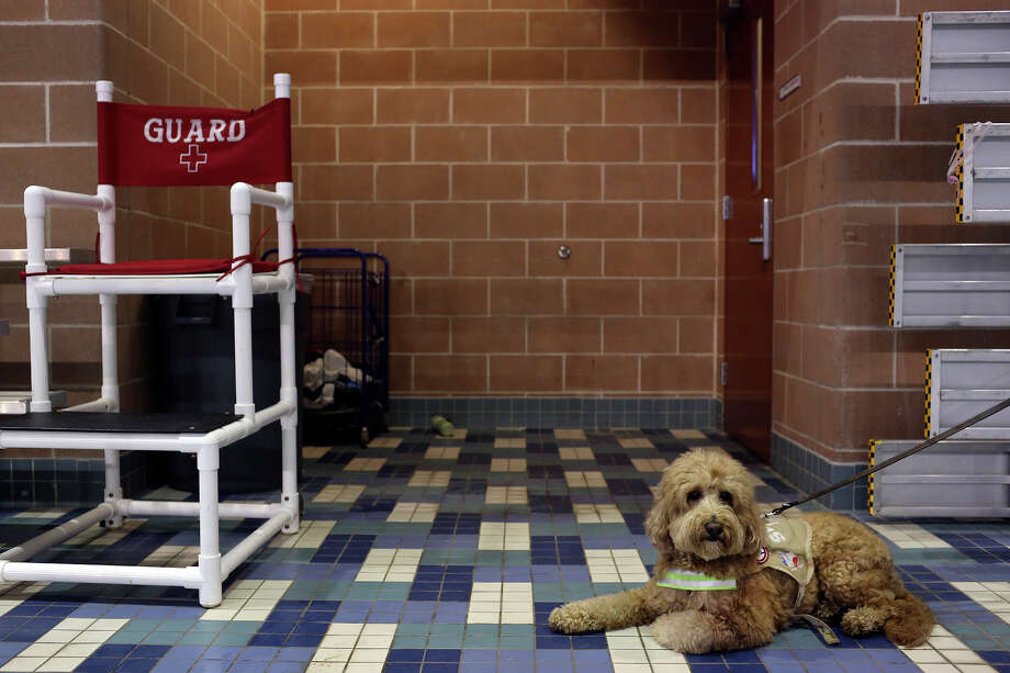 Dakota waits for his owner, Churchill swimmer Ben Ownby, outside the locker room before practice with the Alamo Area Aquatics club team at Josh Davis Natatorium in San Antonio on Tuesday, Jan. 29, 2013. Photo: Lisa Krantz, Express-News / © 2012 San Antonio Express-News