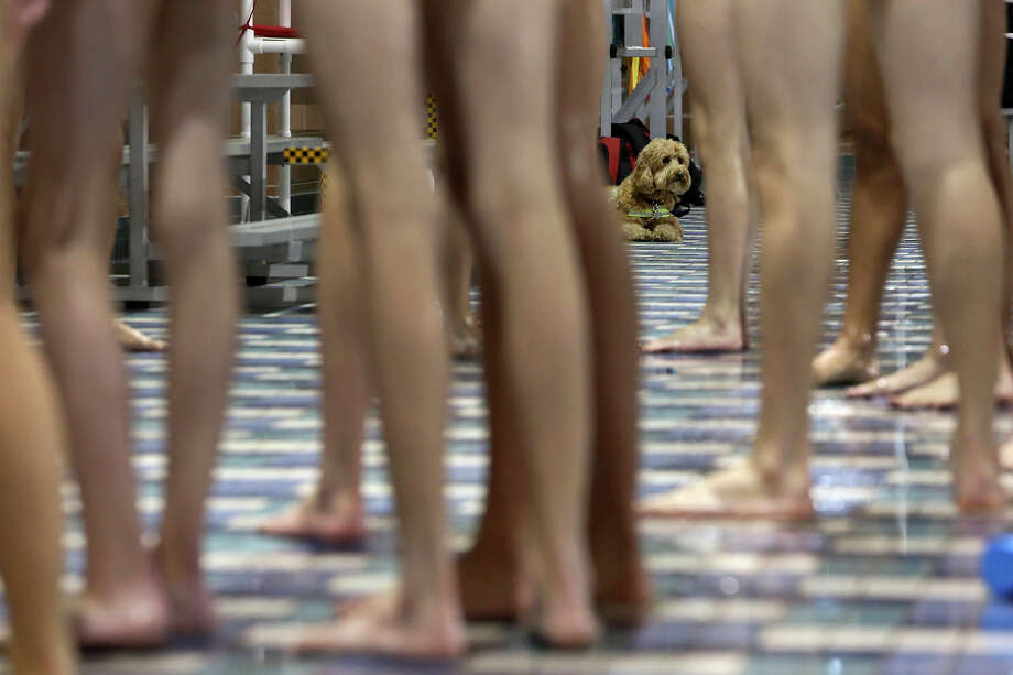 Dakota watches swimmers including his owner, Churchill swimmer Ben Ownby, during practice with the Alamo Area Aquatics club team at Josh Davis Natatorium in San Antonio on Tuesday, Jan. 29, 2013. Photo: Lisa Krantz, Express-News / © 2012 San Antonio Express-News