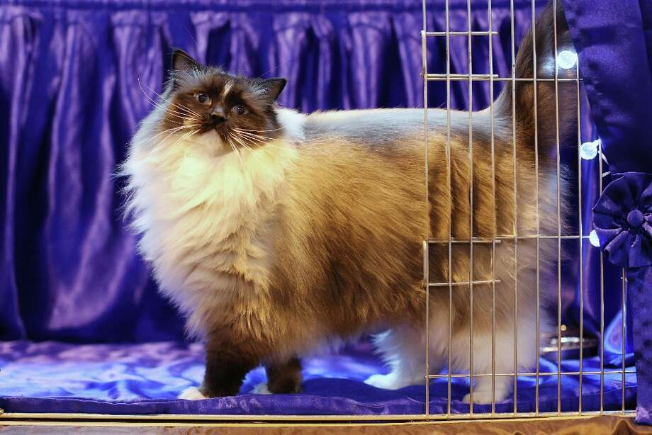 A cat named 'Bleugems Believe-in-me' awaits to be exhibited at the Governing Council of the Cat Fancy's 'Supreme Championship Cat Show' held in the NEC in 2012 in Birmingham, England. Photo: Oli Scarff, Getty Images / 2012 Getty Images