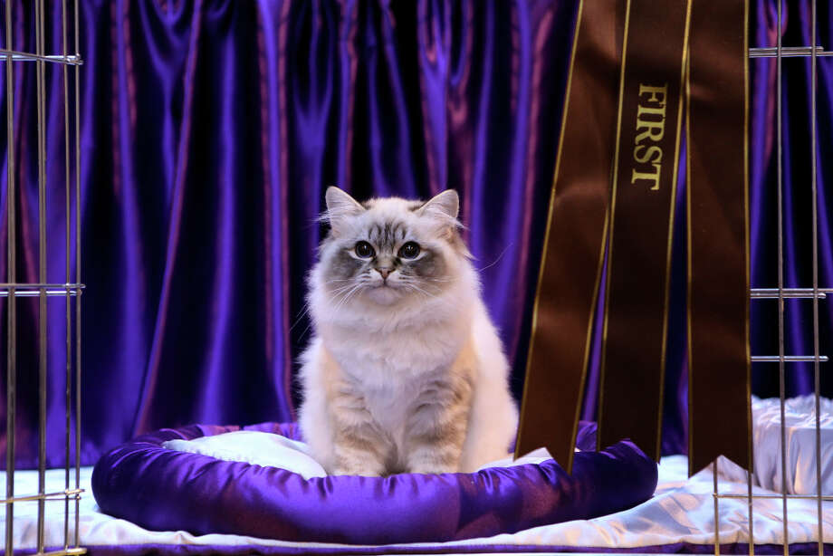 A Tabby Point Birman Kitten named 'Felonie The Full Monty' sits next to his first place rosette after being exhibited at the Governing Council of the Cat Fancy's Supreme Cat Show. Photo: Oli Scarff, Getty Images / 2010 Getty Images