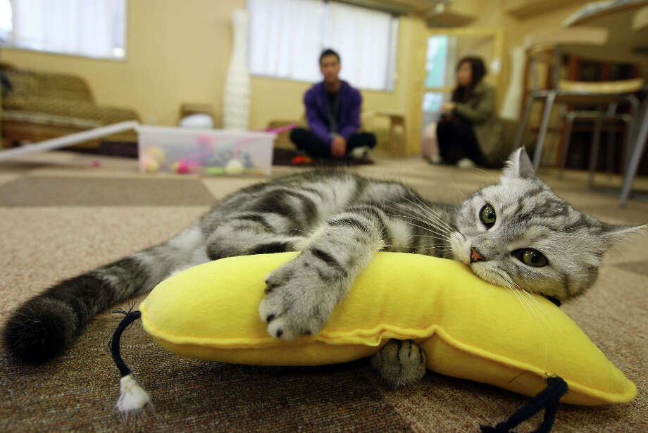 A cat plays at Nekorobi cat cafe in 2009 in Tokyo, Japan. Photo: Junko Kimura, Getty Images / 2009 Getty Images