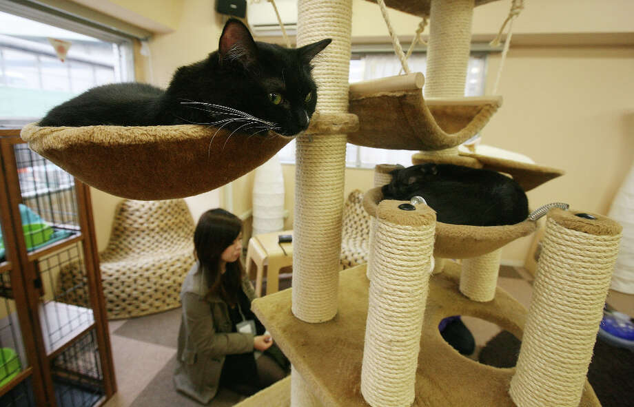 Cats lie at Nekorobi cat cafe on in Tokyo, Japan. Photo: Junko Kimura, Getty Images / 2009 Getty Images