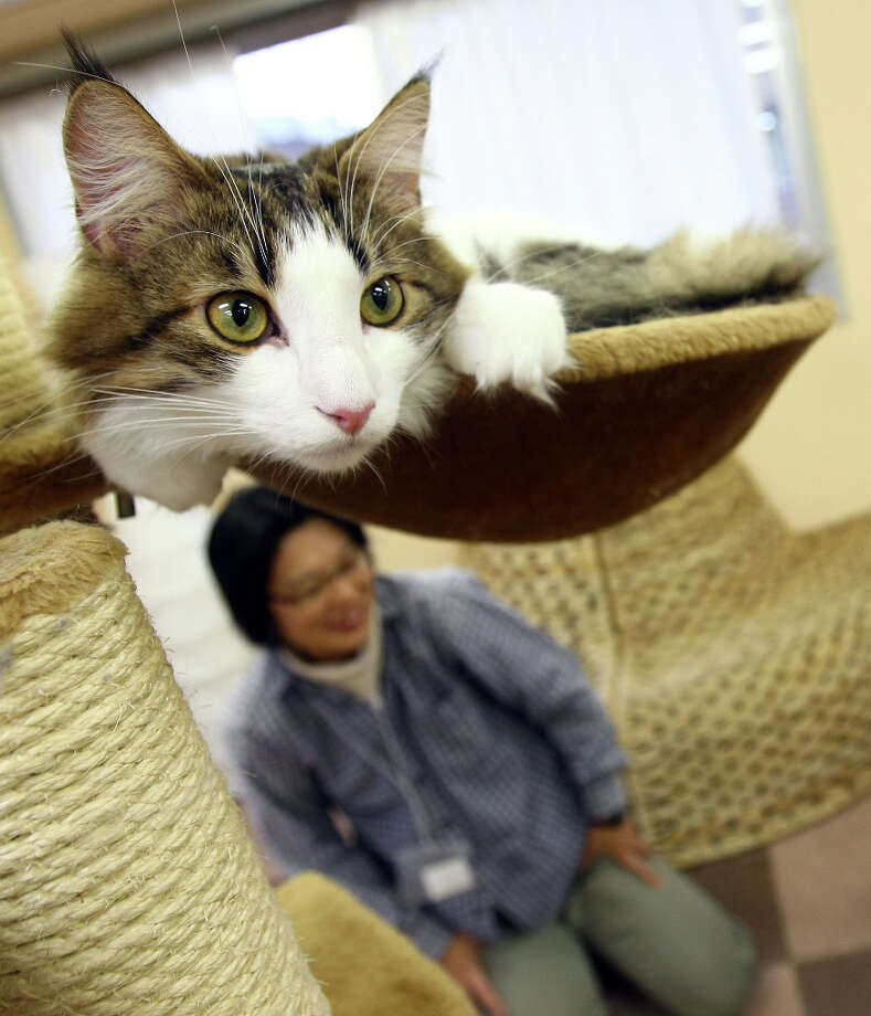 A cat lies at Nekorobi cat cafe on in Tokyo, Japan. Photo: Junko Kimura, Getty Images / 2009 Getty Images