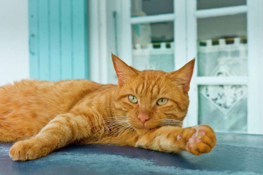 Ginger cat resting on hot tin roof at St Martin de Re, Ile de Re, France Photo: Tim Graham, Tim Graham/Getty Images / Getty Images Europe