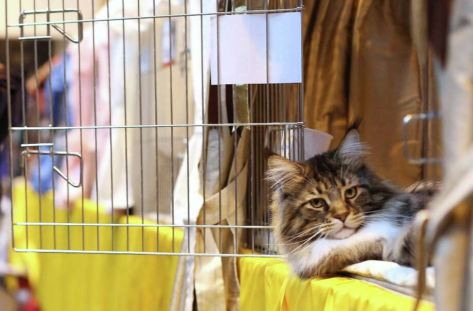 A cat named 'Mr Bojangles' sits with his owner as he awaits to be exhibited at the Governing Council of the Cat Fancy's 'Supreme Championship Cat Show.' Photo: Oli Scarff, Getty Images / 2012 Getty Images