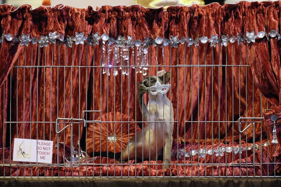 A cat attacks its pen decorations at the Governing Council of the Cat Fancy's 'Supreme Championship Cat Show.' Photo: Oli Scarff, Getty Images / 2012 Getty Images