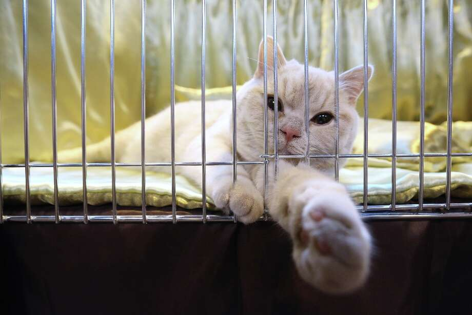 A cat reclines in its pen before being judged at the Governing Council of the Cat Fancy's 'Supreme Championship Cat Show.' Photo: Oli Scarff, Getty Images / 2012 Getty Images
