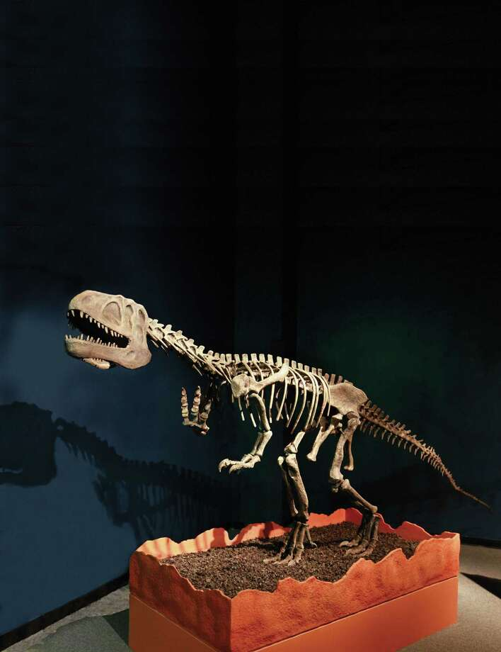 "The Szechuanosaurus, which is believed to have lived during the late Jurassic period, is one of about a dozen skeletons featured in ""Chinasaurs: Dinosaur Discoveries from China,"" which is on display at the Bruce Museum in Greenwich, Conn., through April 21, 2013. For more information on the exhibition or events associated with the show, visit http://www.brucemuseum.org.  Visitors  can walk among the skeletons, skulls, nests and eggs of more than a dozen rare Asian dinosaurs -- from the huge 32-foot long, meat-eating Yangchuanosaurus to the gazelle-sized plant eaters such as Psittacosaurus. Some of these prehistoric fossils also reveal the relationship of dinosaurs to birds as evidenced by the presence of feathers together with scales. The exhibition continues through April 21, 2013. Photo: Contributed Photo"